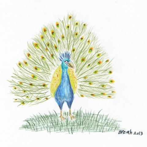 Peacock - colored pencil sketch