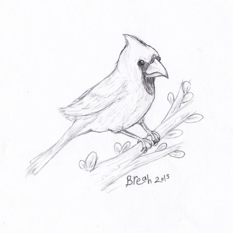 Cardinal - Male sketch