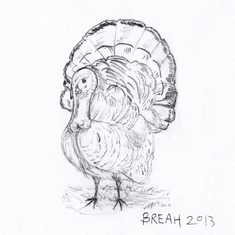 Wild Turkey Pencil Sketch