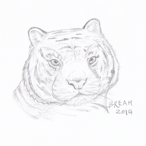 Siberian Tiger head sketch