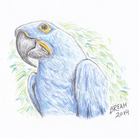 Hyancinth Macaw Color Sketch Art By Breah