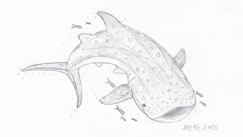 Whale Shark U2013 Largest Fish In The Sea U2013 Art By Breah