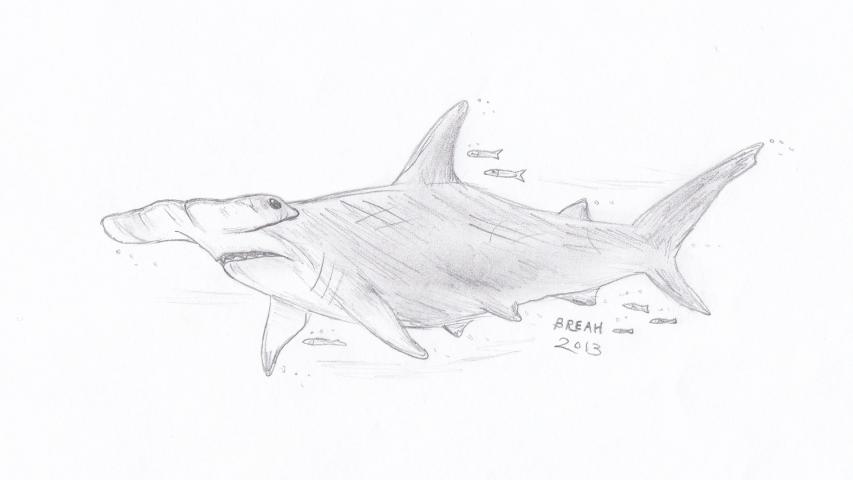 great hammerhead shark � strange and swift � art by breah