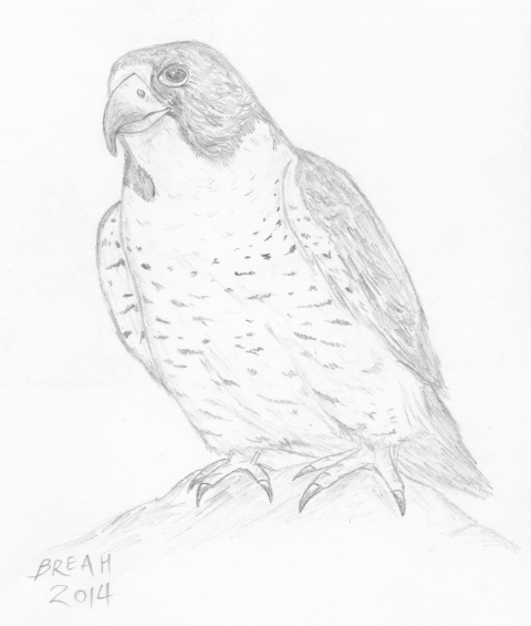 Peregrine Falcon Sketch Peregrine Falcon Sketch