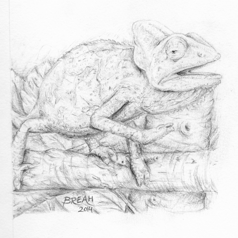 Veiled Chameleon sketch