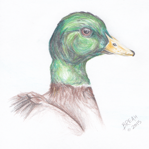 Mallard Duck Colored Pencil