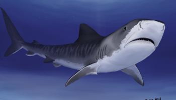 sharks the longnose sawshark art by breah